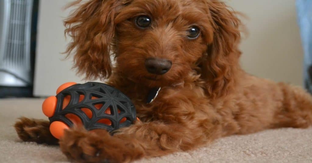 Brown Doxiepoo