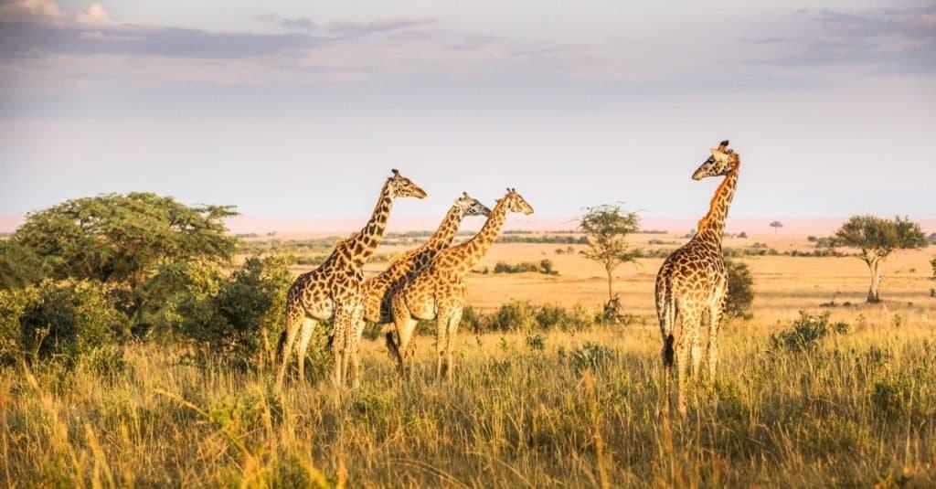 Dumbest Animals in the World: Giraffe