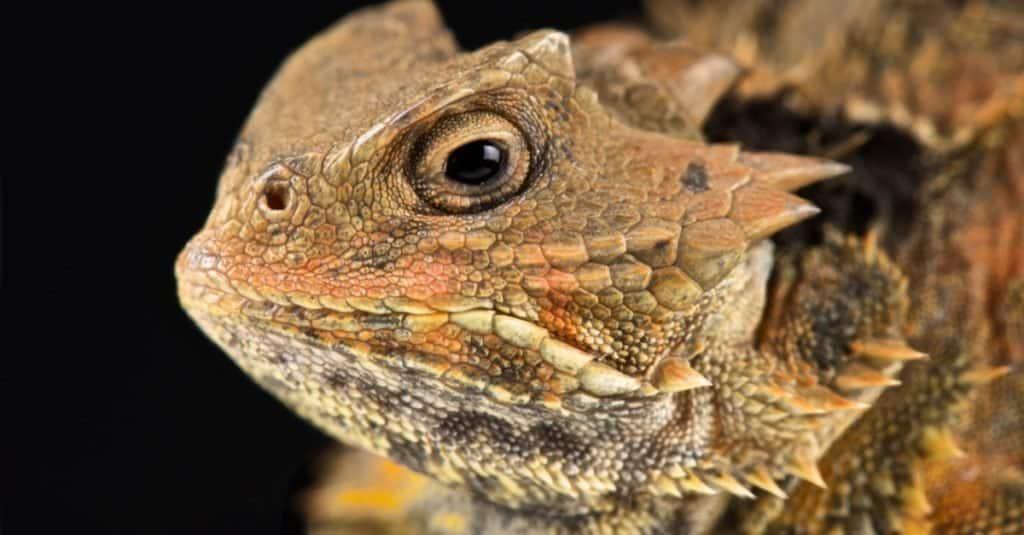 Dumbest Animals in the World: Horned Lizard