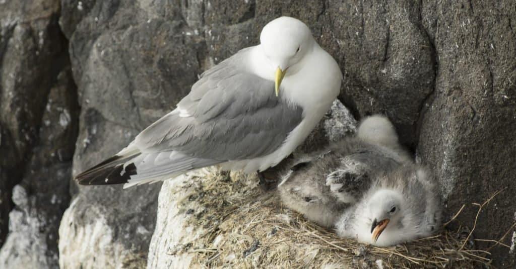 Dumbest Animals in the World: Northern Fulmar