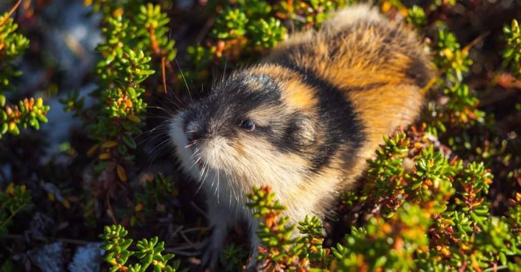 Dumbest Animals in the World: Norwegian Lemmings