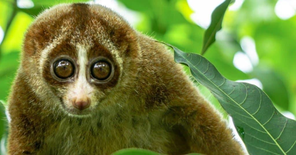Dumbest Animals in the World: Slow Loris