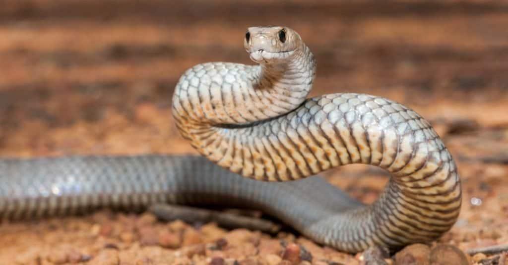 La mayoría de las serpientes venenosas del mundo - Eastern Brownsnake