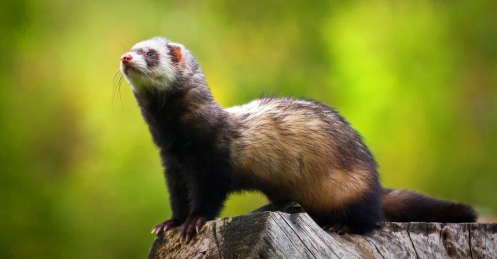 Illegal Pets to Own In the United States: Ferrets