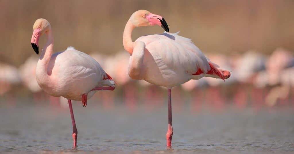 Dumbest Animals in the World: Flamingo