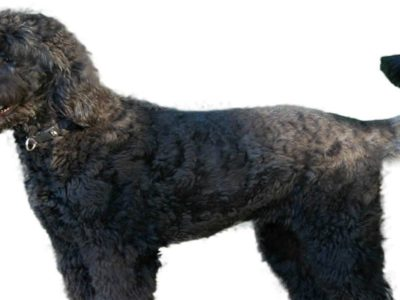 A Giant Schnoodle