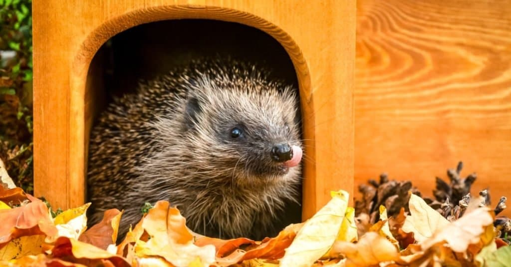 Illegal Pets to Own In the United States: Hedgehogs