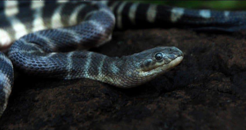 Most Venomous Snakes in the World - Hook-nosed Sea Snake