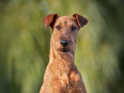 A Irish Terrier