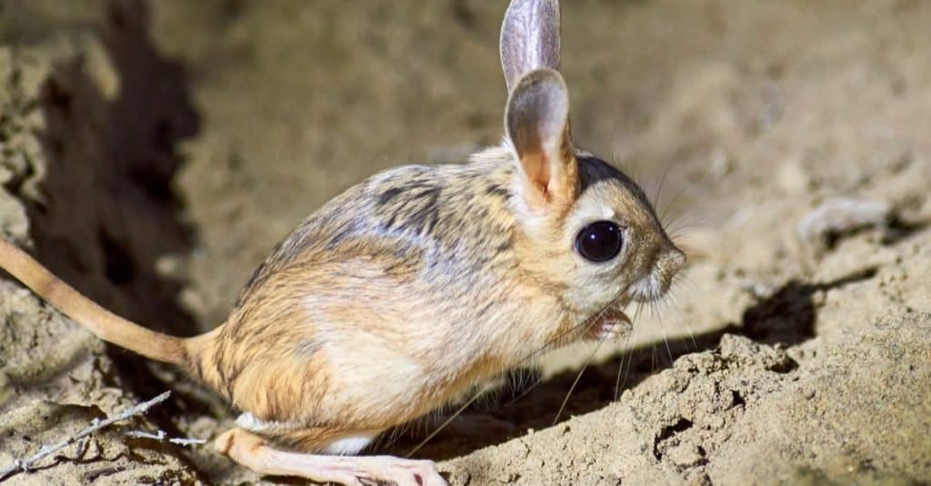 Dumbest Animals in the World: Jerboa