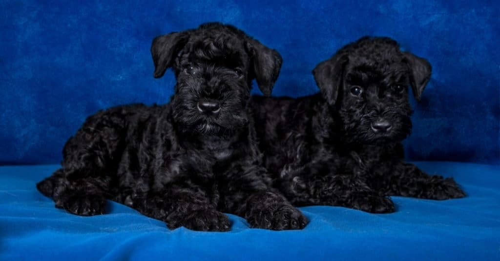 a pair of Kerry blue Terriers