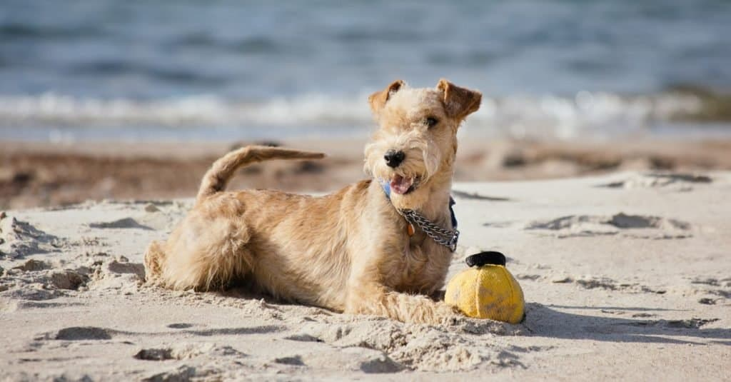 Lakeland Terrier dog lying on the beach near the sea