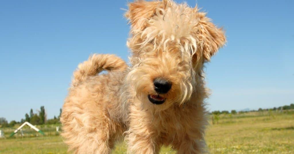 Lakeland Terrier puppy