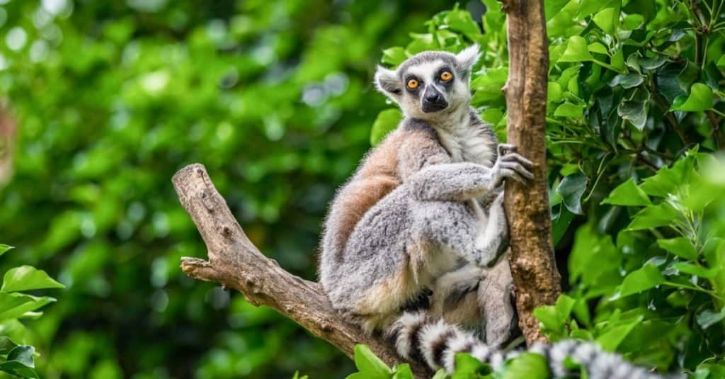 Illegal Pets to Own In the United States: Lemurs
