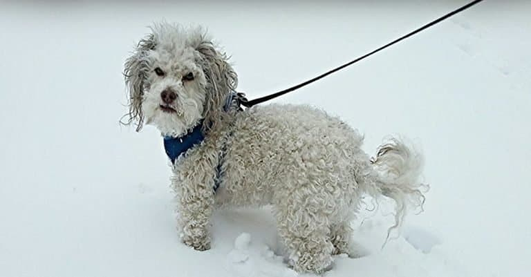 Lhasapoo walking in the snow