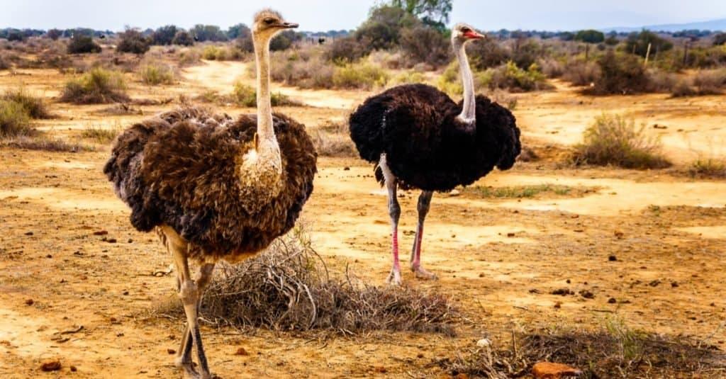 Dumbest Animals in the World: Ostrich