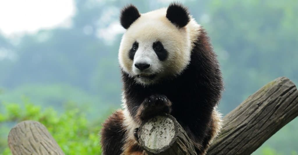 Dumbest Animals in the World: Panda Bear