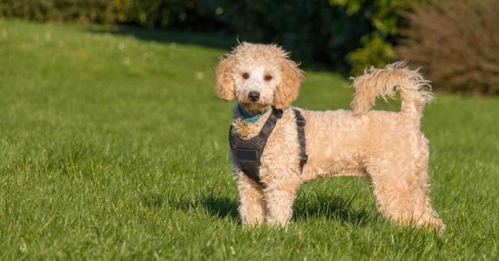 Poochon dog wearing black harness standing with tail up on green grass in a park.
