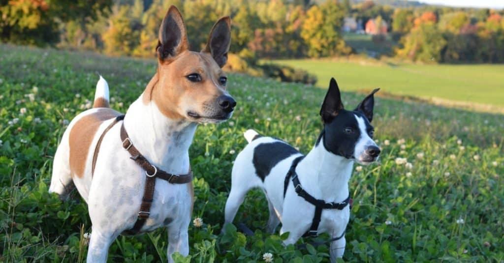 Alert Rat Terriers outside in field
