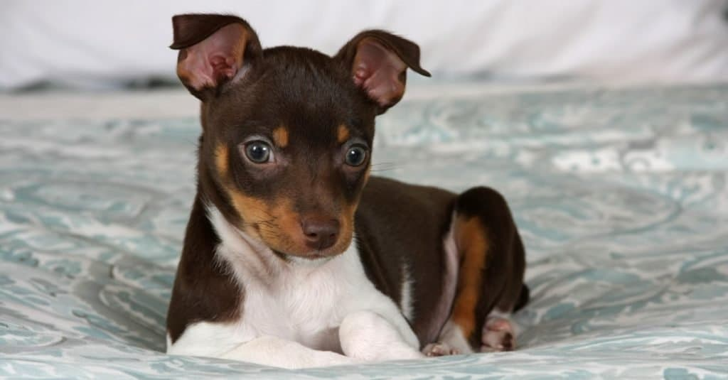 An 8 week old Rat Terrier puppy posing for the camera.