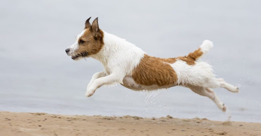 Russell Terrier at the seaside