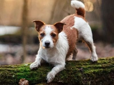 A Russell Terrier