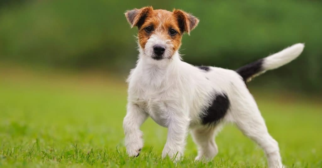 Russell Terrier puppy 11 weeks in the grass discovers the world