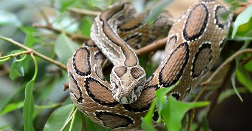 La mayoría de las serpientes venenosas del mundo: la víbora de Russel
