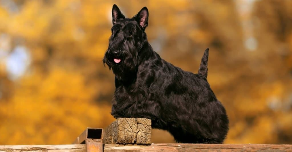 Scottish terrier bitch on a dog show in autumn