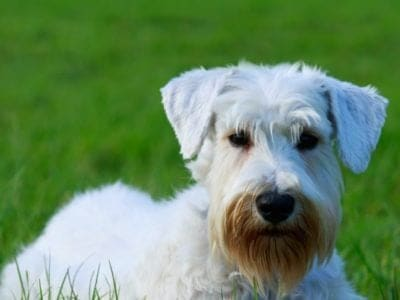 A Sealyham Terrier