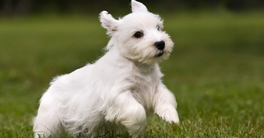 Sealyham Terrier puppy running on grass