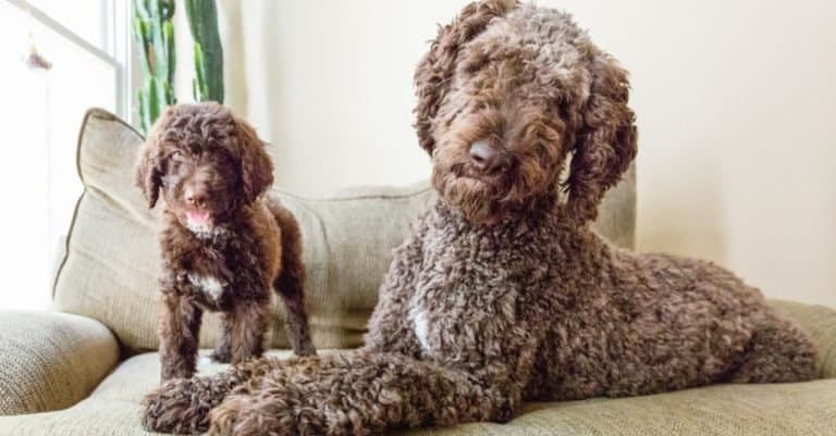 Shepadoodle Dog with puppy on couch