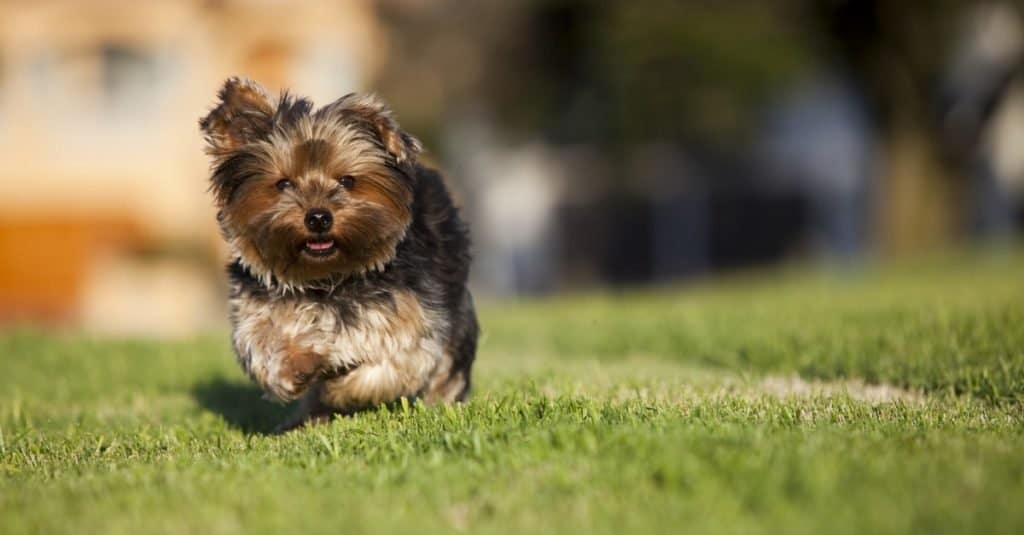 Small Silky Terrier puppy running on the grass