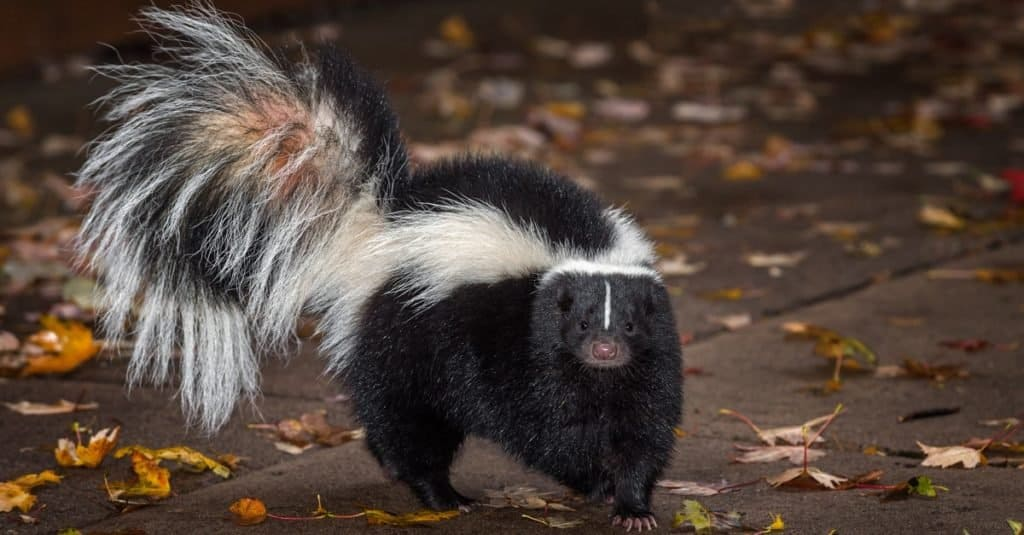 Illegal Pets to Own In the United States: Skunks