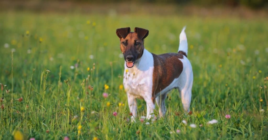 young Smooth Fox Terrier in the meadow