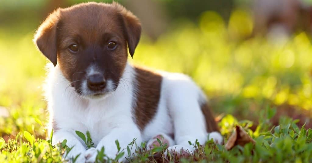 Purebred puppy, smooth fox terrier is resting on a walk in the park outdoors, on the green grass.