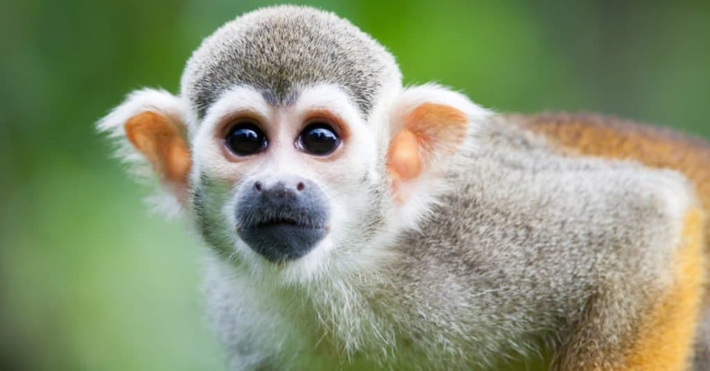 Illegal Pets to Own In the United States: Monkeys