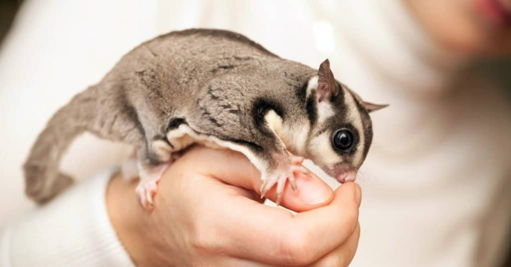 Illegal Pets to Own In the United States: Sugar Gliders