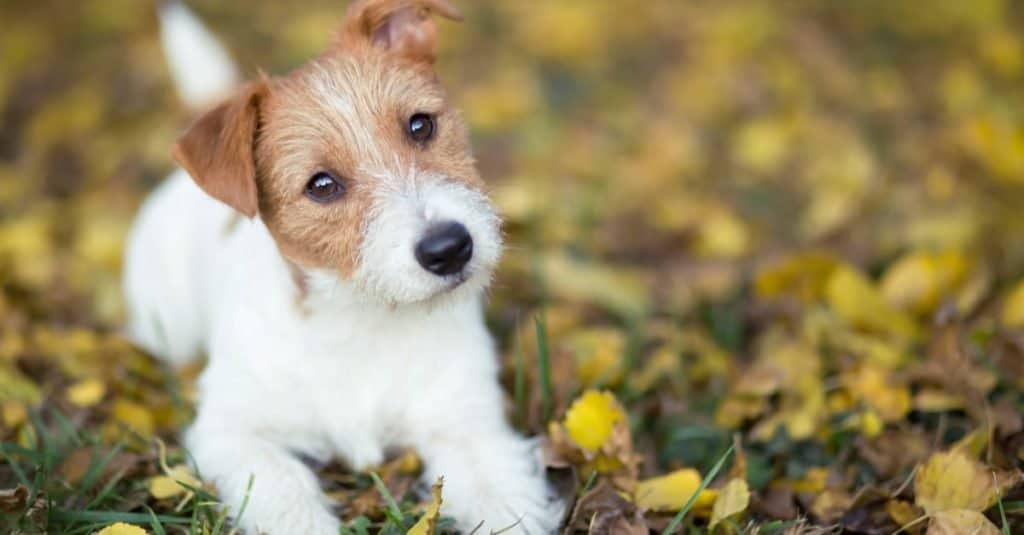 Cute happy Jack Russell Terrier puppy dog lying in the grass