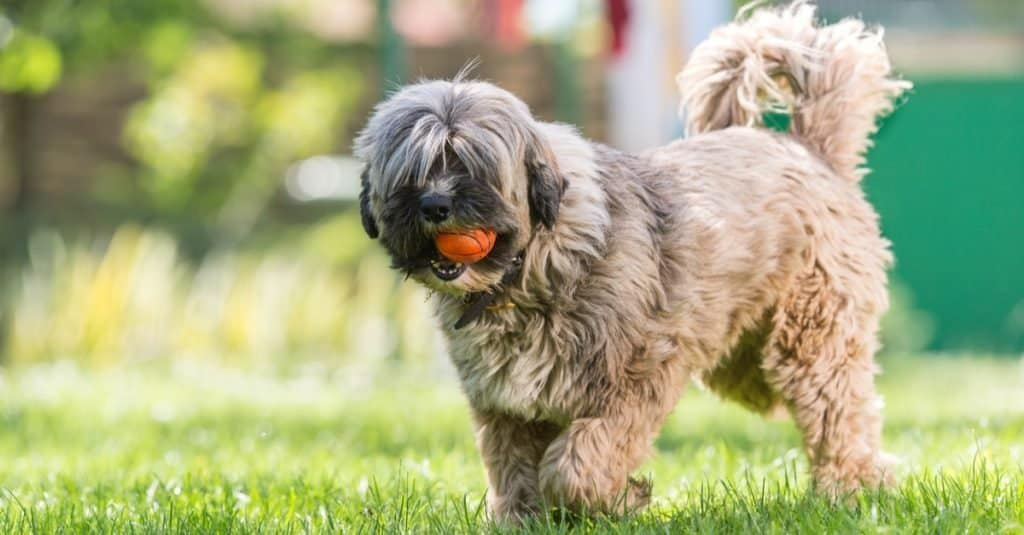 Tibetan terrier playing with a ball