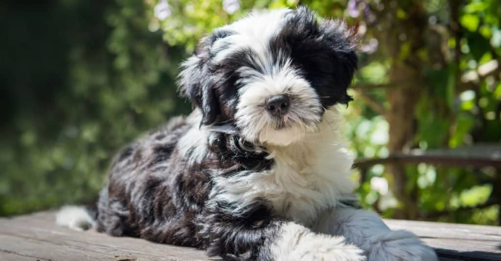 Tibetan Terrier dog puppy is sitting on the table