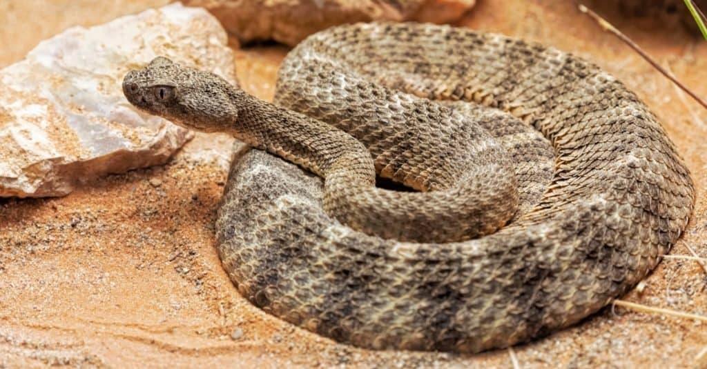 La mayoría de las serpientes venenosas del mundo: serpiente de cascabel tigre
