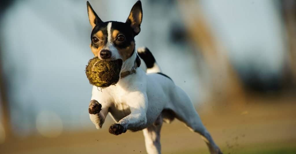 Toy Fox Terrier running with dirty tennis ball