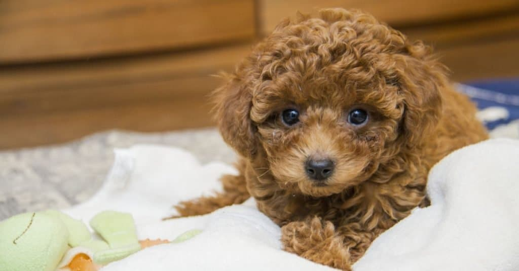 Brown toy poodle lying on blanket