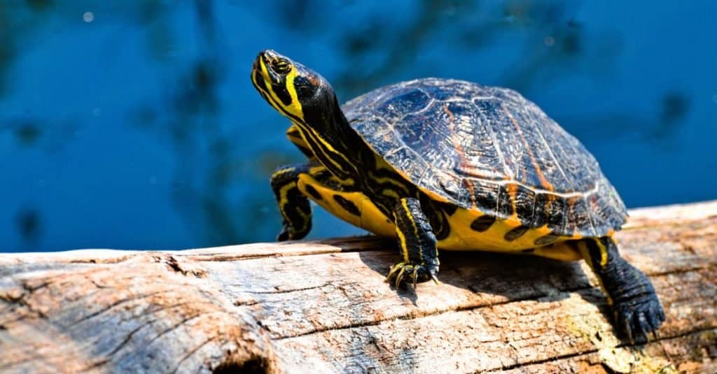 Illegal Pets to Own In the United States: Turtles