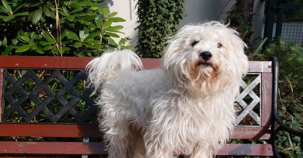White westiepoo standing on a bench