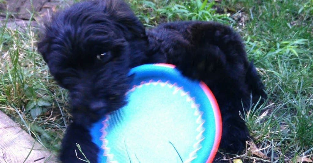 Whoodle puppy playing with frisbee