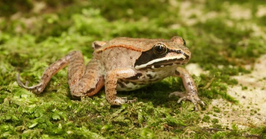 Wood frog sitting on some moss