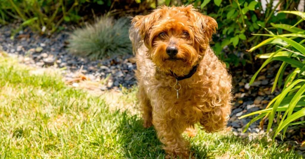 Yorkie Poo posing on grass. Yorkie Poo is a cross between a Yorkshire terrier and toy poodle