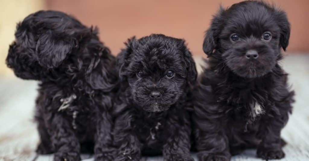 Three yorkie poo puppies sitting on a porch